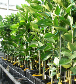 Citrus Tree Nursery Thenurseries